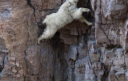 Šílené horské kozy
