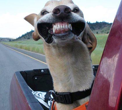 K popukání – Psi si užívají větru během jízdy autem!